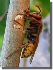 le frelon europeen vespa crabro france guepes. Black Bedroom Furniture Sets. Home Design Ideas